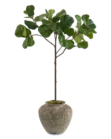 John Richard Collection - Young Fiddle Leaf Fig - JRB-3452