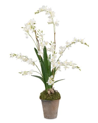 John Richard Collection - Garden Dendrobium - JRB-3505
